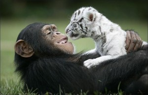 Friends Chimp Tiger