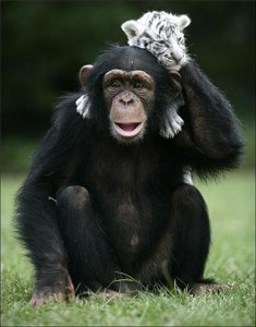 Friends Chimp Tiger 4